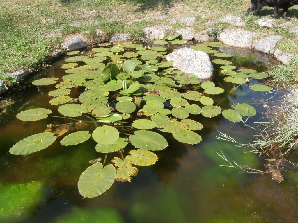 Nénuphar du Jardin du du gîte A la lisère - Ardèche