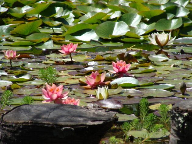 Nénuphar du jardin du gîte A la lisère - Ardèche
